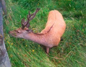 Ciervo rojo de Irlanda