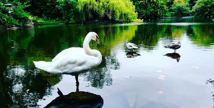 Cisne de Irlanda