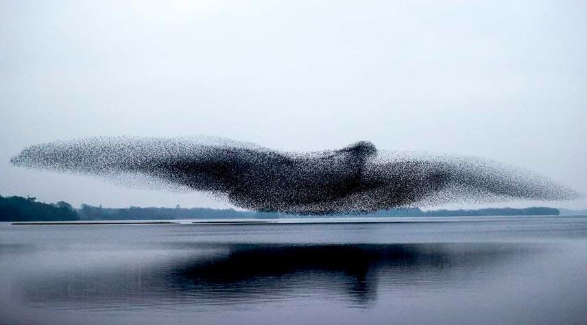 estorninos en el lago Ennell de Irlanda